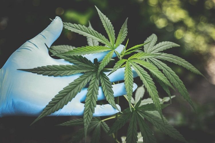 The Pros and Cons of Cannabis for Cancer Patients   HealthSoul